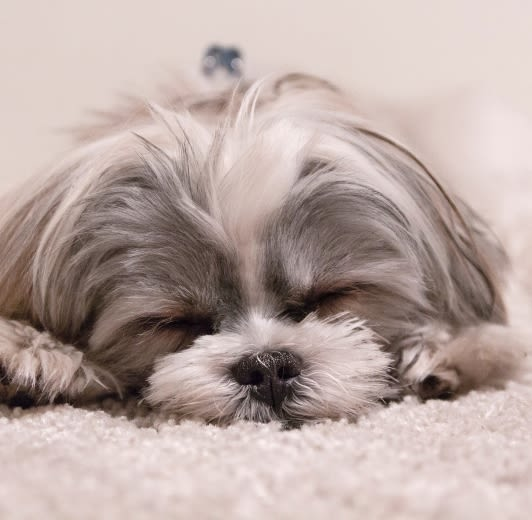 Closeup picture of a very cute fluffy dog sleeping on a rug